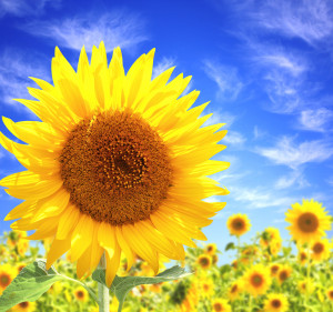 sunflower_image_04_hd_pictures